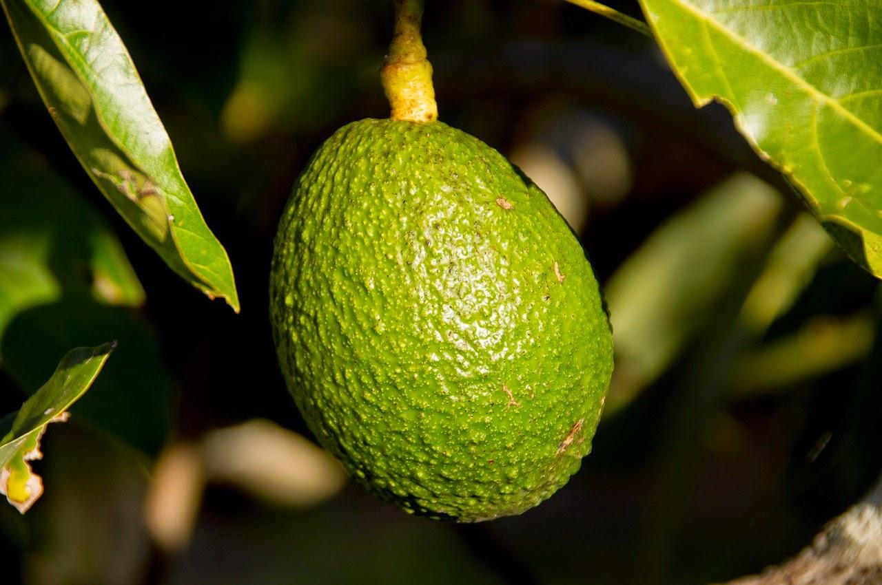 hass avocado 415546 1280